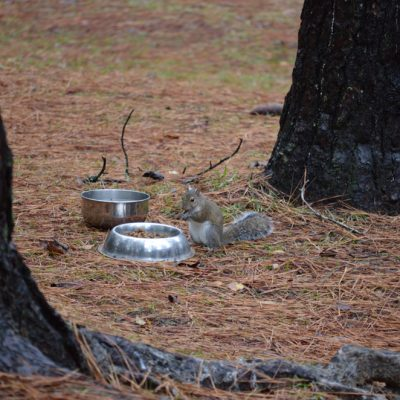 Squirrels eating from dog bowl
