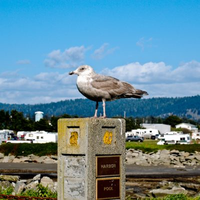 A seagull roosting on a post in Crescent City, CA